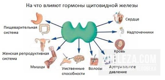 виды гормонов