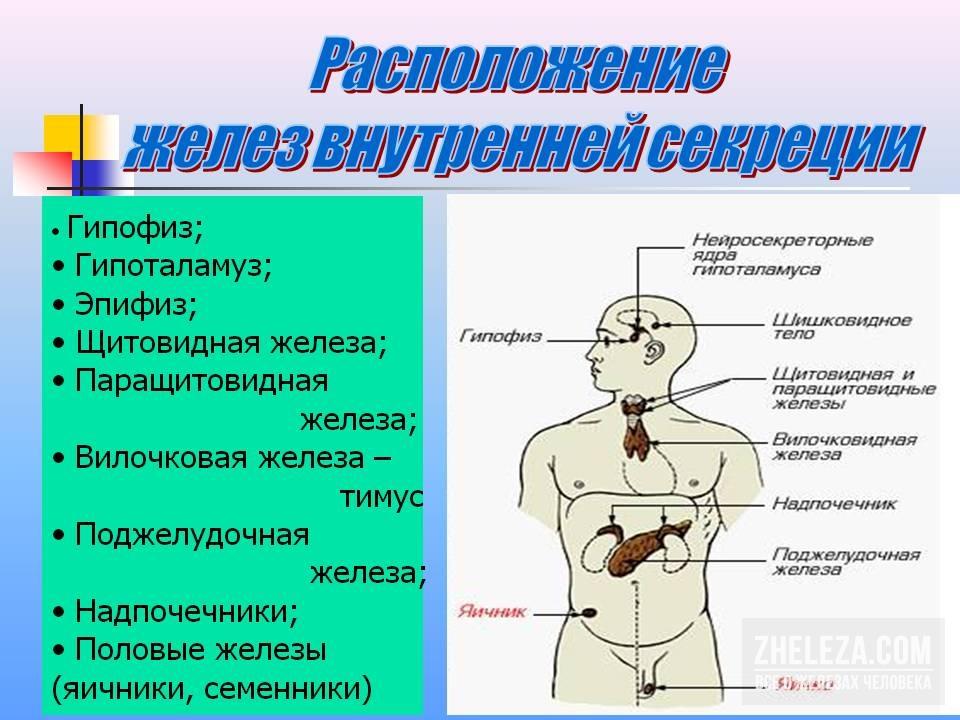 Функции щитовидной железы и гипофиза, скорая помощь