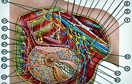 Грудная железа - патологии и заболевания